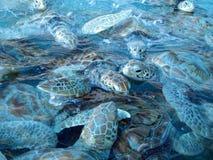 Tartarugas marinhas Foto de Stock Royalty Free