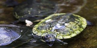 Tartarugas minúsculas Imagem de Stock
