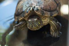 Tartarugas na lagoa Fotos de Stock
