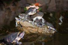 Tartarugas na pedra na água Fotos de Stock Royalty Free