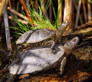 Tartarugas no delta de Danúbio Fotografia de Stock