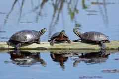 Tartarugas pintadas orientais no log imagem de stock