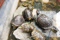 Tartarugas que colocam em uma pedra grande em um lago Fotografia de Stock