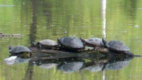 Tartarugas que descansam em um coto video estoque