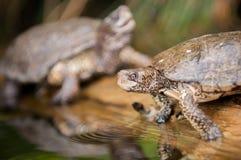 Tartarugas que sentam em um início de uma sessão um pantanal Imagens de Stock