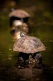 Tartarugas que sentam em um início de uma sessão um pantanal Imagem de Stock Royalty Free