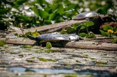 Tartarugas que sentam em um início de uma sessão um pantanal Imagens de Stock Royalty Free