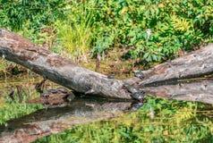 Tartarugas que tomam o mergulho na laca Fauvel Imagem de Stock Royalty Free