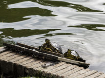 Tartarugas que tomam sol no lago Imagens de Stock Royalty Free