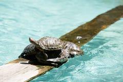 Tartarugas sobre se Fotos de Stock Royalty Free