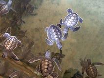 Tartarugas uma dias de idade fotografia de stock royalty free