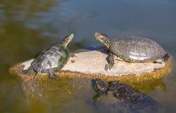 Tartarugas vermelhas da tira Imagens de Stock