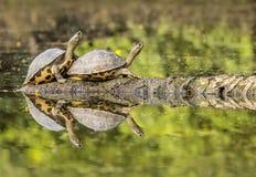 tartarughe fotografia stock
