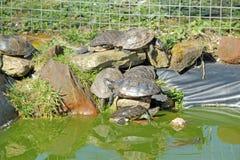 tartarughe Immagine Stock