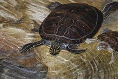 tartarughe Fotografia Stock Libera da Diritti