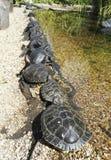 tartarughe Fotografie Stock Libere da Diritti