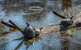 Tartarughe che prendono il sole al sole nella palude della baia di Chesapeake Immagini Stock Libere da Diritti
