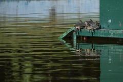 Tartarughe che prendono il sole in mezzo ad uno stagno fotografia stock