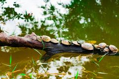 Tartarughe che prendono il sole su un albero in uno stagno vicino al Rio delle Amazzoni, Iquitos, Perù Immagine Stock Libera da Diritti