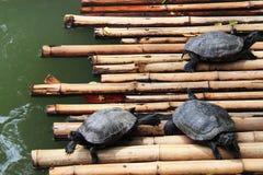 Tartarughe d'acqua dolce Fotografia Stock Libera da Diritti