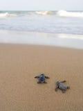 Tartarughe del bambino che fanno il suo modo all'oceano Fotografia Stock Libera da Diritti