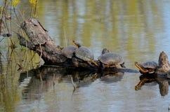 Tartarughe del ` s di Blanding, specie in pericolo di estinzione in palude fotografie stock