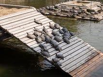 Tartarughe dell'acqua che prendono il sole al sole Immagini Stock Libere da Diritti