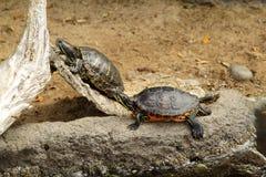 Tartarughe in giardino zoologico Fotografia Stock Libera da Diritti