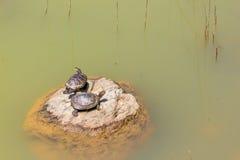 Tartarughe su roccia Fotografia Stock