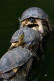 Tartarughe su un ceppo Fotografie Stock