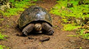 Tartarughe sul Galapagos Fotografia Stock Libera da Diritti