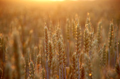 Tarwe bij zonsondergang Stock Foto