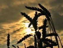 Tarwe bij zonsondergang stock afbeeldingen