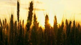 Tarwe bij zonsondergang in de wind stock videobeelden