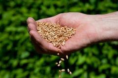 Tarwe in de hand van Landbouwers Royalty-vrije Stock Fotografie