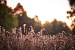 Tarwe die landschap planten Royalty-vrije Stock Afbeelding