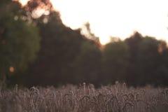 Tarwe die landschap planten Stock Afbeelding