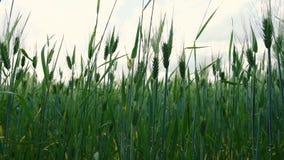 Tarwe die op gebied in de zomerwind rijpen stock videobeelden