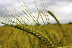 Tarwe in een Te oogsten Wachten van het Landbouwersgebied Stock Foto