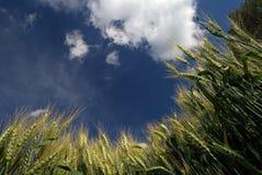Tarwe en blauwe hemel royalty-vrije stock foto's