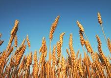 Tarwe en blauwe hemel als achtergrond Royalty-vrije Stock Foto