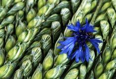 Tarwe en korenbloem Stock Foto's