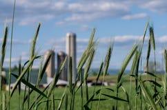 Tarwe en landbouwbedrijf Stock Foto