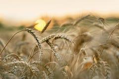 Tarwe en zon stock fotografie