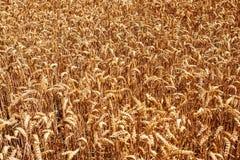 Tarwe field2 Stock Foto's