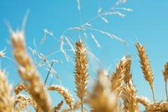 Tarwe field1 Stock Foto