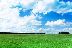 Tarwe groen gebied bij de lente Stock Afbeelding
