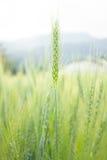 Tarwe in groen landbouwbedrijf Stock Foto