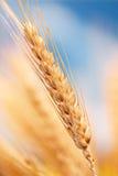 Tarwe in het landbouwbedrijf Royalty-vrije Stock Afbeelding