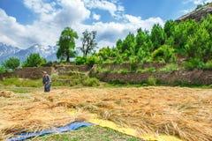Tarwe in Himalayagebergte royalty-vrije stock foto's